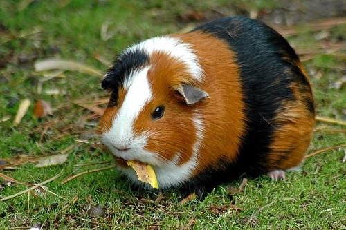 guinea pig1